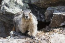 Canada, British Columbia, Yoho Nationalpark, Hoary marmot (Marmota caligata) — стоковое фото