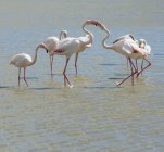 France, Provence Alpes Cote d'Azur, Camargue, interacting flamingos, Phoenicopterus roseus — Stock Photo