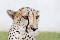 Retrato de Namibia, Kamanjab, de guepardos mansos - foto de stock