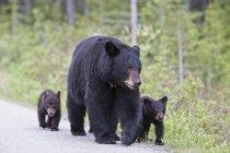 Американский черный медведь с медвежатами, ходить на дороге в дневное время, Национальный парк Джаспер, Альберта, Канада — стоковое фото