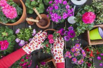 Gardening, different spring and summer flowers, flower box and gardening tools, potting — Stock Photo
