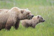 USA, Alaska, Lake Clark National Park and Preserve, Brown bear and bear cub (Ursus arctos) — Foto stock