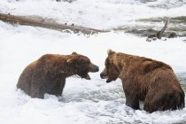 Brown bears at Brooks Falls, fighting during foraging at daytime, Katmai National Park, Alaska, USA — Stock Photo