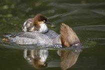 Harle Bièvre avec poussins sur son dos, baignade dans l'étang, vue — Photo de stock