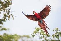 Brazil, Mato Grosso, Mato Grosso do Sul, Bonito, Buraco of Araras, flying scarlet macaw (Ara macao) parrot — Stock Photo