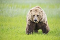 Brown bear (Ursus arctos) on green grass meadow, front view — Stock Photo