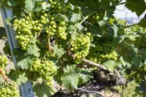 Close-up of green grapevine growing in vineyard — Stock Photo