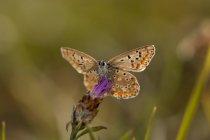 Papillon bleu, Lycaenidae, le ciste sur fond flou — Photo de stock