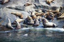 USA, Alaska, Seward, Resurrection Bay, gruppo di leoni marini Steller (Eumetopias jubatus) sdraiati su una roccia — Foto stock