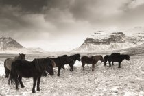 Iceland, Snaefells, Icelandic horses, natural landscape on background — Stock Photo