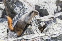 Canada, British Columbia, Yoho Nationalpark, Hoary marmot (Marmota caligata) — Stockfoto