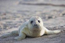 Retrato de cachorro de foca gris tirado en la playa durante el día, Isla Duene, Helgoland, Schleswig-Holstein, Alemania - foto de stock
