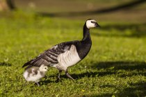 Germany, Bavaria, Barnacle goose with chick on grass — Stock Photo