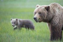 Urso-pardo fêmea com filhote no Parque Nacional do Lago Clark e preservar, Alasca, Estados Unidos — Fotografia de Stock