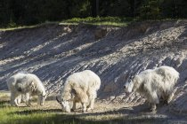 Canada, Alberta, Rocky Mountains, Parc National Jasper, Banff Parc national, trois chèvres de montagne (Oreamnos americanus) — Photo de stock