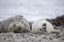 Foca grigia adulta e cucciolo di foca grigia sulla spiaggia di giorno, Duene Island, Helgoland, Germania — Foto stock