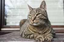 Portrait de l'European Shorthair relaxant sur table de balcon — Photo de stock