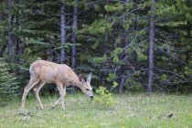 Mule deer standing on forest glade, trees on background — Stock Photo