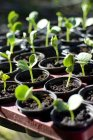 Close up of Squash seedlings in flower pots — Stock Photo