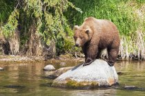 Front view of brown bear foraging at Brooks Falls at daytime, Katmai National Park, Alaska, USA — Stock Photo