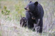 Американский черный медведь с медвежонком, ходить на лугу в дневное время, Национальный парк Джаспер, Альберта, Канада — стоковое фото