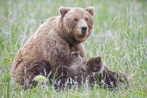 Коричневий матері ведмідь годування ведмідь дитинчат в зеленій траві з квітами в озеро Кларк Національний парк і заповідник, Аляска, США — стокове фото