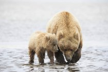 Brown bear and bear cub foraging mussels at Lake Clark National Park and Preserve, Alaska, USA — Stock Photo