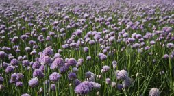 Field of blossoming chives in sunlight — Stock Photo