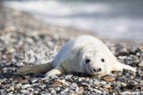 Carino cucciolo di foca grigia sdraiato sulla spiaggia di ghiaia di giorno, Duene Island, Helgoland, Germania — Foto stock