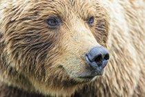 Brown bear (Ursus arctos) muzzle closeup view — Stock Photo