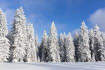 Germania, Baviera, neve coperto gli alberi in foresta bavarese — Foto stock