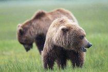 Brown bears standing on green meadow at daytime, Lake Clark National Park and Preserve, Alaska, USA — Stock Photo