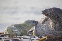 Сірий запечатати вигодовування її цуценя на пляжі в денний час, Duene острова, Гельголанд, Німеччина — стокове фото