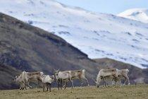 Ісландія, стадо оленів випасу на траві — стокове фото