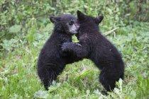 Американский черный медведь медвежат, играя на зеленом лугу в дневное время, Национальный парк Джаспер, Альберта, Канада — стоковое фото
