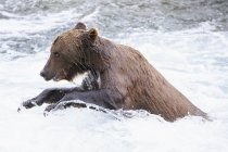 Side view of brown bear foraging at Brooks Falls at daytime, Katmai National Park, Alaska, USA — Stock Photo