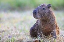 L'Amérique du Sud, Brasilia, Mato Grosso do Sul, Pantanal, Capybara, (Hydrochoerus hydrochaeris) assis sur l'herbe sèche — Photo de stock