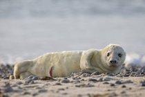 Carino cucciolo di foca grigia sdraiato sulla spiaggia di giorno, Duene Island, Helgoland, Schleswig-Holstein, Germania — Foto stock