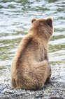 Rückansicht von Braunbär im Wasser sitzend an Bachfällen, Katmai Nationalpark, Alaska, USA — Stockfoto