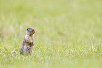 Canada, Alberta, Parc National de Jasper, Parc National Banff, Spermophile, debout dans l'herbe — Photo de stock