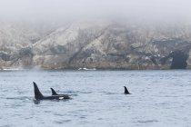 Estados Unidos, Alaska, Seward, Bahía resurrección, aletas dorsales de tres ballenas de asesino (orca de Orcinus) - foto de stock