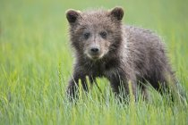 Бурый медвежонок (Ursus arctos), стоя на лугу — стоковое фото