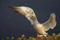 Gannet norteño Alemania, Helgoland, durante el día - foto de stock
