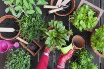 Садовая, лекарственных и кухня растения, женские руки, проведении пот — стоковое фото