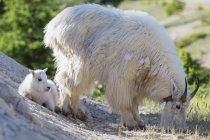 Канада, Альберти, Національний парк Джаспер, Banff Національний парк, гірський козел з ведмежам в природі — стокове фото