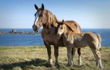 Франція, Бретань, кінь з лоша проти води денний час — стокове фото