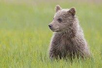 Бурый медвежонок, сидя на лугу на озеро Кларк Национальный парк и заповедник, Аляска, США — стоковое фото