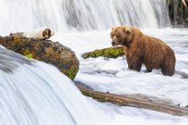 Brown bear foraging at Brooks Falls at daytime, Katmai National Park, Alaska, USA — Stock Photo