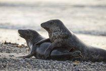 Coppia di foche grigie che giocano sulla spiaggia di giorno, Helgoland, Germania — Foto stock
