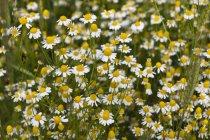 Camomila alemã (Matricaria chamomilla) durante o dia — Fotografia de Stock